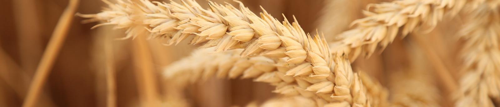 Common wheat - Campo de Tejada, Chickpea producers in Spain